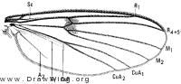 Mycetophila unipunctata, wing