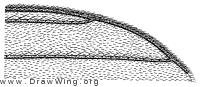 Synapha tibialis, wing