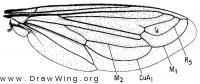 Nemomydas pantherinus, wing