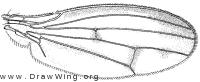 Opomyza petrei, wing