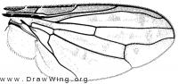 Notogramma cimiciforme, wing