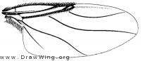 Aenigmatias eurynotus, wing