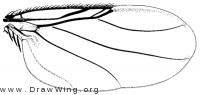 Dohrniphora cornuta, wing