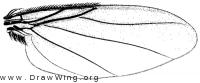 Hypocera ehrmanni, wing