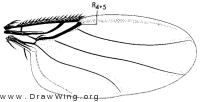 Conicera, wing