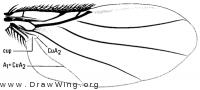 Neodohrniphora arnaudi, wing