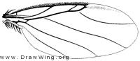 Lecanocerus compressiceps, wing