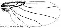 Auxanommatidia californica, wing