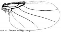 Pseudacteon onyx, wing