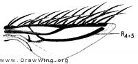 Commoptera solenopsidis, wing