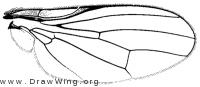 Neopiophila setaluna, wing