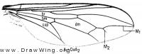 Verrallia aucta, wing