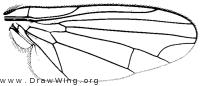 Polyporivora polypori, wing