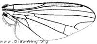 Protoclythia modesta, wing