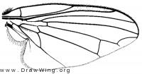 Symmetricella mogollonensis, wing