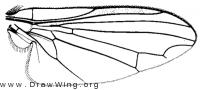 Paraplatypeza coraxa, wing