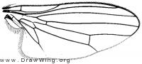 Bertamyia notata, wing