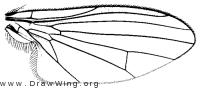 Agathomyia canadensis, wing