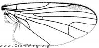 Platypezina diversa, wing