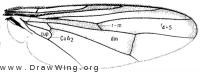 Senopterina caerulescens, wing