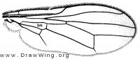 Chyliza apicalis, wing