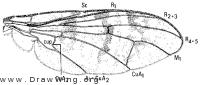 Sphecomyiella valida, wing