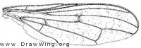 Pyrgotella chagnoni, wing