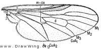 Symphoromyia hirta, wing