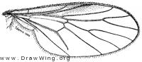 Litoleptis alaskensis, wing