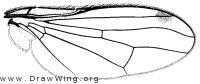Omomyia hirsuta, wing