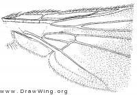 Cordilura varipes, wing