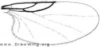 Ectaetia, wing