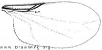 Swammerdamella obtusa, wing