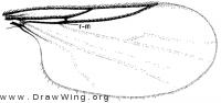 Colobostema variatum, wing