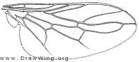 Brevitrichia schlingeri, wing