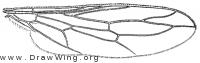 Pseudatrichia howdeni, wing