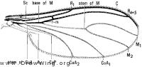 Lycoriella, wing
