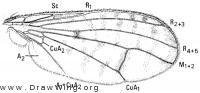 Tetanocera valida, wing