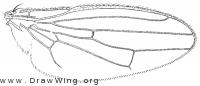 Copromyza equina, wing