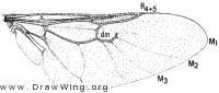 Nemotelus canadensis, wing
