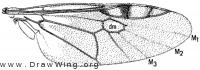 Euryneura propinqua, wing