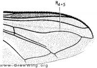 Eupeodes lapponicus, wing
