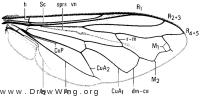 Eumerus strigatus, wing