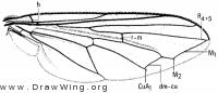 Cynorhinella longinasus, wing