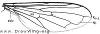 Sphegina keeniana, wing