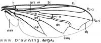 Brachyopa notata, wing