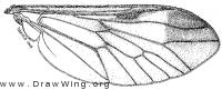 Diachlorus ferrugatus, wing