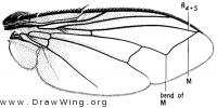 Tryphera, wing