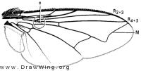 Drino antennalis, wing