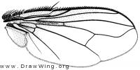 Masistylum stennomatum, wing